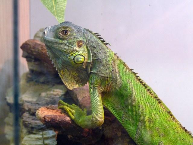1clubdelcane-iguana7