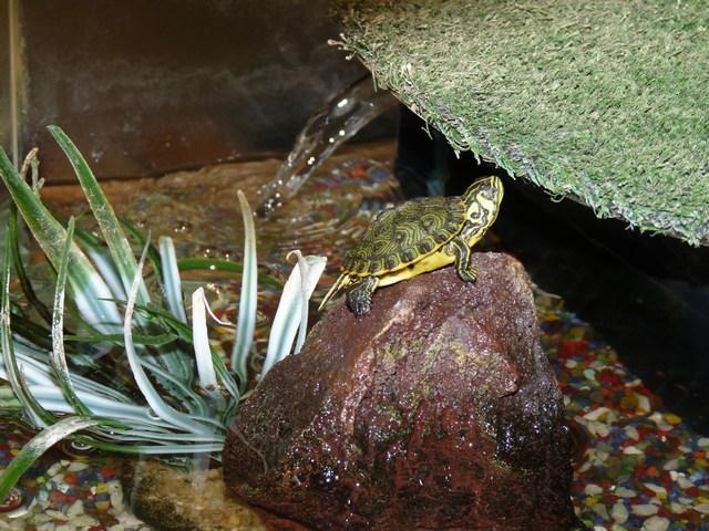 7clubdelcane-tartaruga-acqua