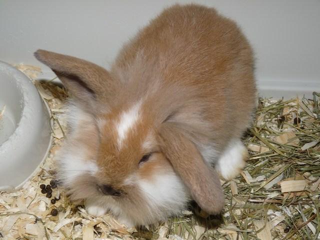 1clubdelcane-coniglio-nano