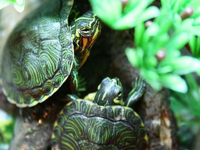 Vendita cuccioli club del cane for Piscina per tartarughe acquatiche
