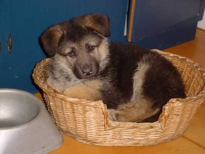 club del cane educazione cinofila pastore tedesco cucciolo