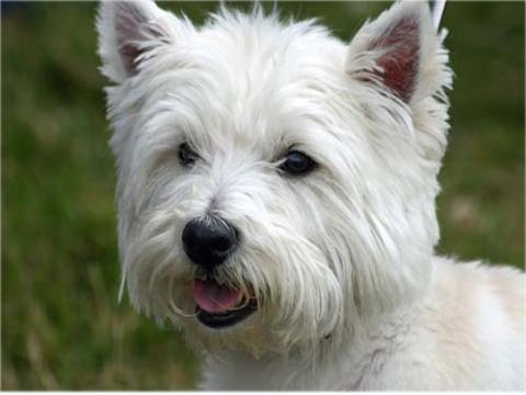 Filariosi cardio polmonare un grave pericolo per il cane for Pastiglie filaria cani