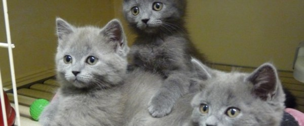 Cuccioli Di Gatto Certosino
