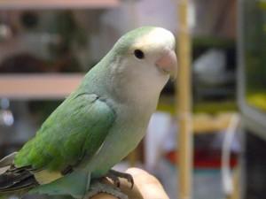 clubdelcane-pappagallo-inseparabile2