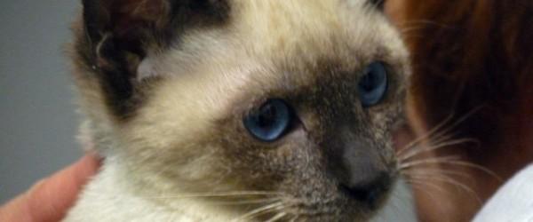 Cucciolo di gatto siamese club del cane - Gatto solo in casa per 15 giorni ...