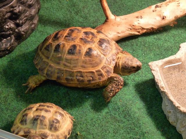 Tartaruga terrestre horsfieldi in vendita a torino club for Vitamina a per tartarughe