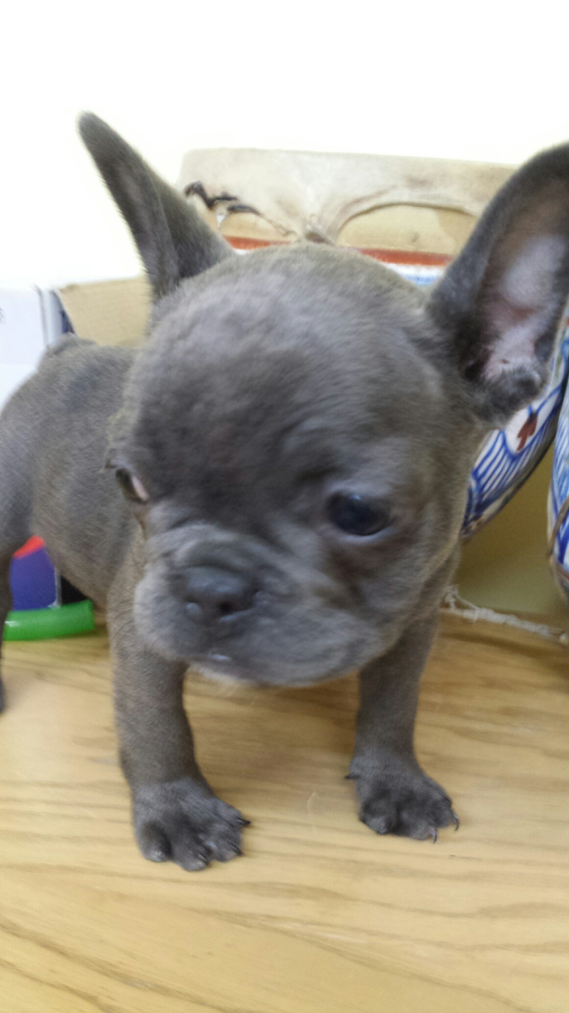 Cucciolo di bouledogue francese blu club del cane for Bouledogue francese
