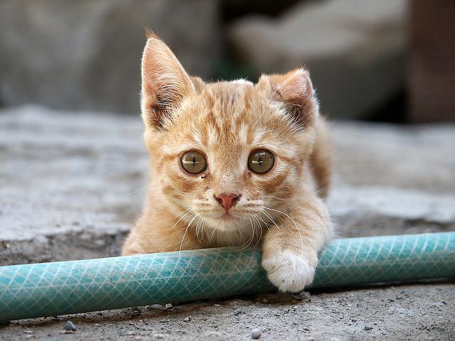 gattoincipt1